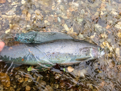 Fishing for grayling in Alaska