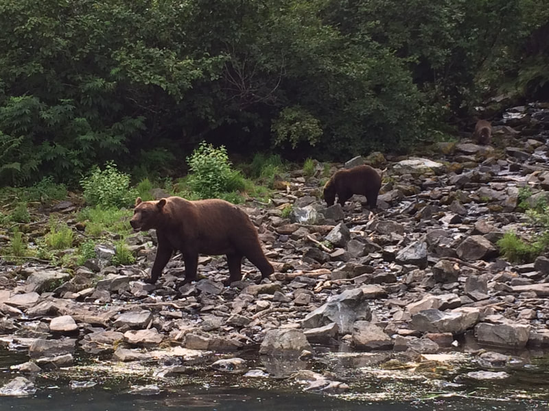 Bear watching Alaska